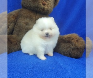 Pomeranian Puppy for sale in MARIONVILLE, MO, USA