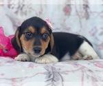 Small #6 Beagle