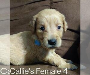 Golden Retriever Puppy for sale in DAVENPORT, FL, USA
