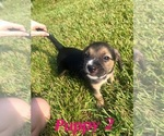 Puppy 1 Beagle-Unknown Mix