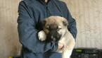 Caucasian Shepherd Dog Active Boys
