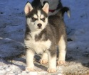 Siberian Husky Puppy For Sale in GRISWOLD, IA, USA