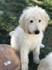 Goldendoodle Puppy for Sale in CORNING, California USA
