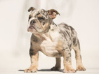 English Bulldogge Puppy For Sale in FORT PIERCE, FL, USA