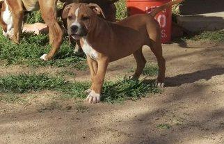America Bandogge Mastiff Puppy For Sale in CALIFORNIA CITY, CA