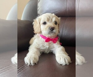 Cocker Spaniel Puppy for sale in MERIDIAN, ID, USA