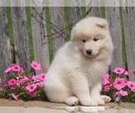 Small #1 Samoyed
