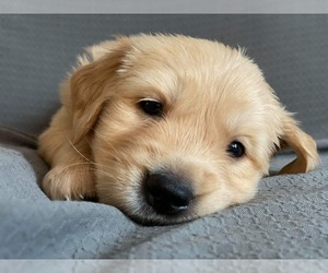 Golden Retriever Puppy for sale in NORTH OLMSTED, OH, USA