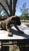 Presa Canario Puppy For Sale in LITTLEROCK, CA