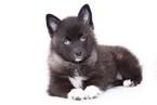 Pomeranian-Siberian Husky Mix Puppy For Sale in NAPLES, FL