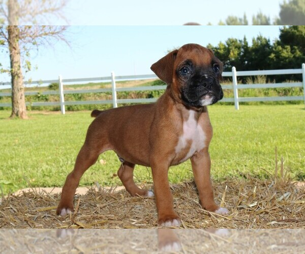 Medium Photo #1 Boxer Puppy For Sale in CHILHOWEE, MO, USA