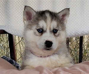 Siberian Husky Puppy for sale in TOUTLE, WA, USA