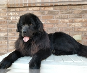 Father of the Newfoundland puppies born on 11/26/2019