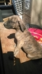 Presa Canario Puppy For Sale in LITTLEROCK, CA