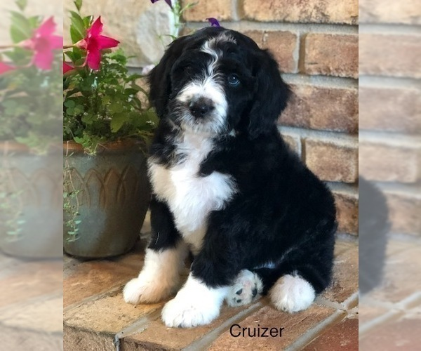 Puppyfindercom View Ad Photo 11 Of Listing Bernedoodle