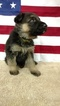 German Shepherd Dog Puppy For Sale in SAINT CHARLES, MI,