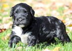 Portuguese Water Dog Puppy For Sale