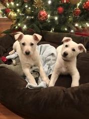 Christmas AKC White German Shepherd Puppies