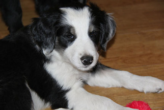 Border Collie-Golden Retriever Mix Puppy for sale in LACEY, WA, USA