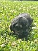 Puppy 9 Bloodhound
