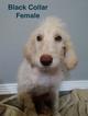 Female F1B Goldendoodle Puppy