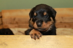 AKC Rottweiler Puppies and Adult Females