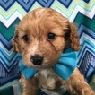 Cock-A-Poo-Poodle (Miniature) Mix Puppy For Sale in HONEY BROOK, PA, USA