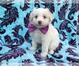 Pom-A-Poo Puppy for sale in LANCASTER, PA, USA
