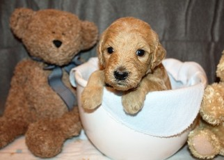 Goldendoodle Puppy For Sale in CORFU, NY, USA