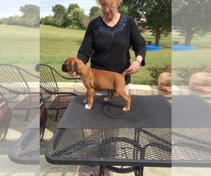 Boxer Puppy for Sale in GROVE CITY, Ohio USA