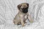 Jug Puppy For Sale in SHIPPENSBURG, PA, USA