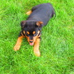 Rottweiler Puppy For Sale in NEW HAVEN, Indiana,
