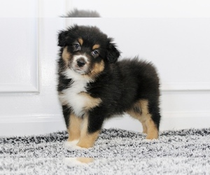Australian Shepherd Puppy for sale in CARMEL, IN, USA