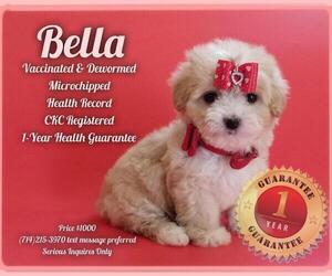 Maltese-Poodle (Toy) Mix Puppy for sale in GARDEN GROVE, CA, USA
