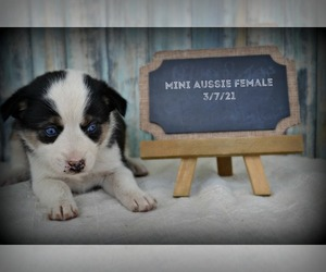 Miniature Australian Shepherd Puppy for Sale in NILES, Michigan USA