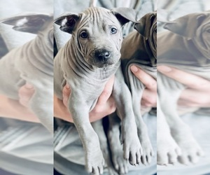 Thai Ridgeback Puppy for sale in MANHATTAN, NY, USA