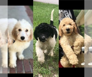 Goldendoodle Puppy for Sale in AUGUSTA, Georgia USA