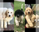 Goldendoodle Puppy For Sale in AUGUSTA, GA, USA