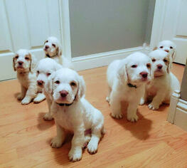 View Ad Clumber Spaniel Puppy For Sale Near California Le Grand