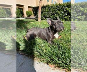 French Bulldog Puppy for Sale in IRVINE, California USA