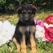 German Shepherd Dog Puppy For Sale in MIAMI, FL, USA
