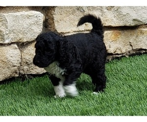 Goldendoodle Puppy for Sale in NOBLESVILLE, Indiana USA