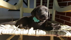 Labrador Retriever Puppy For Sale in AUBURN, IN, USA