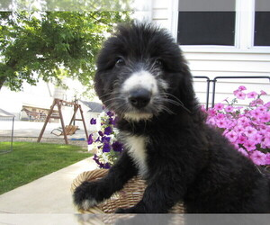Shepadoodle Puppy for sale in HUDSON, MI, USA