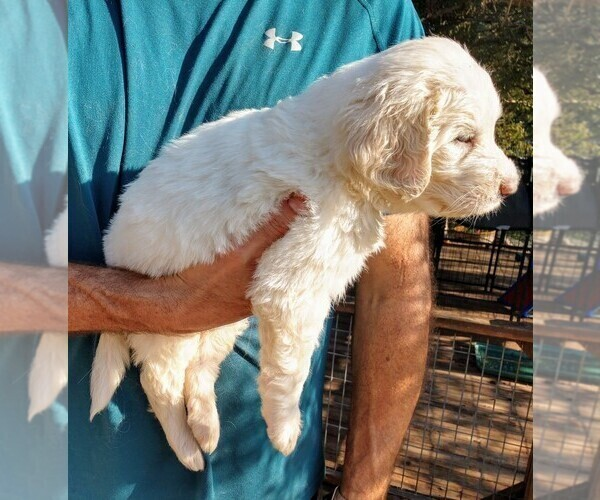 Medium Photo #4 Pyredoodle Puppy For Sale in MARION, TX, USA
