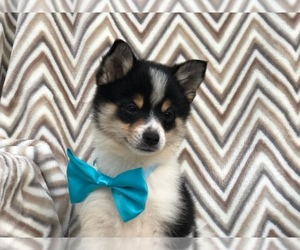 Pom-Shi Puppy for Sale in HONEY BROOK, Pennsylvania USA