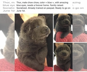 Chow Chow Puppy for sale in Charny, Quebec, Canada