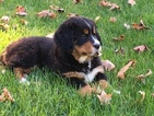 AKC Female Bernese Mountain Dog