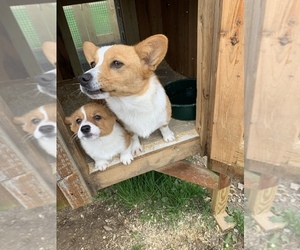 Father of the Pembroke Welsh Corgi puppies born on 11/17/2020