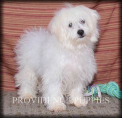 Zuchon Puppy for sale in COPPOCK, IA, USA